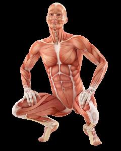 Човешка анатомия, мускулна маса - продрукти на Zob.BG